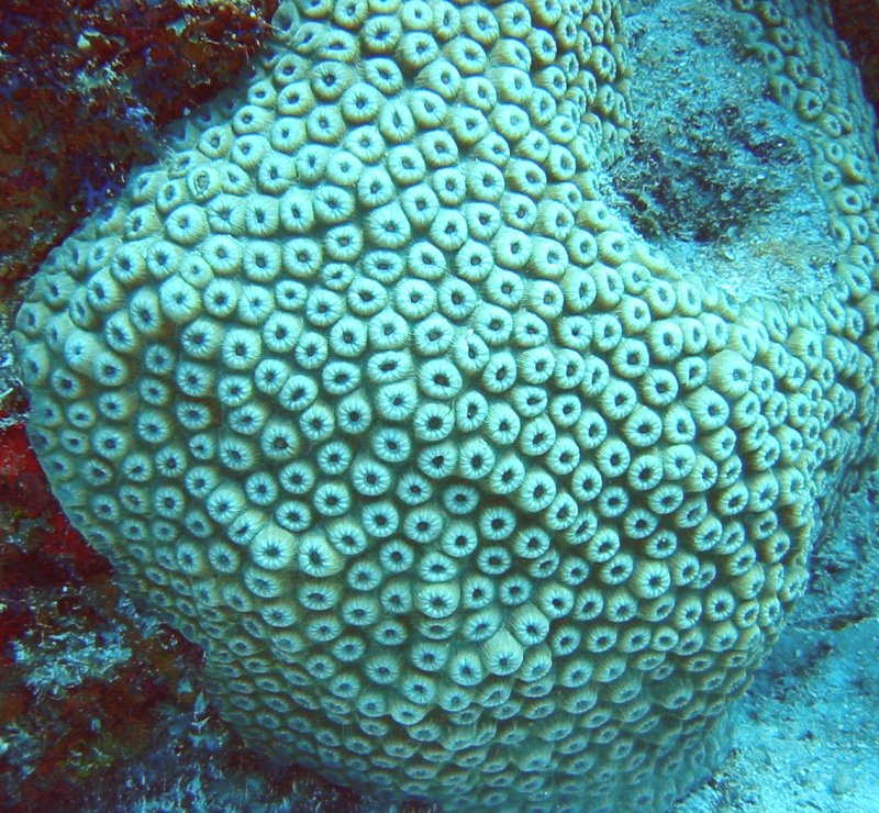 Great Star Coral - Montastraea cavernosa