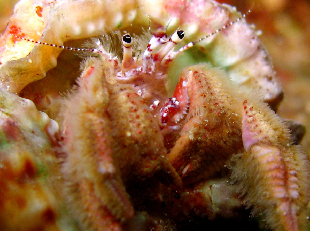 Hairy Hermit Crab -  - Grand Cayman