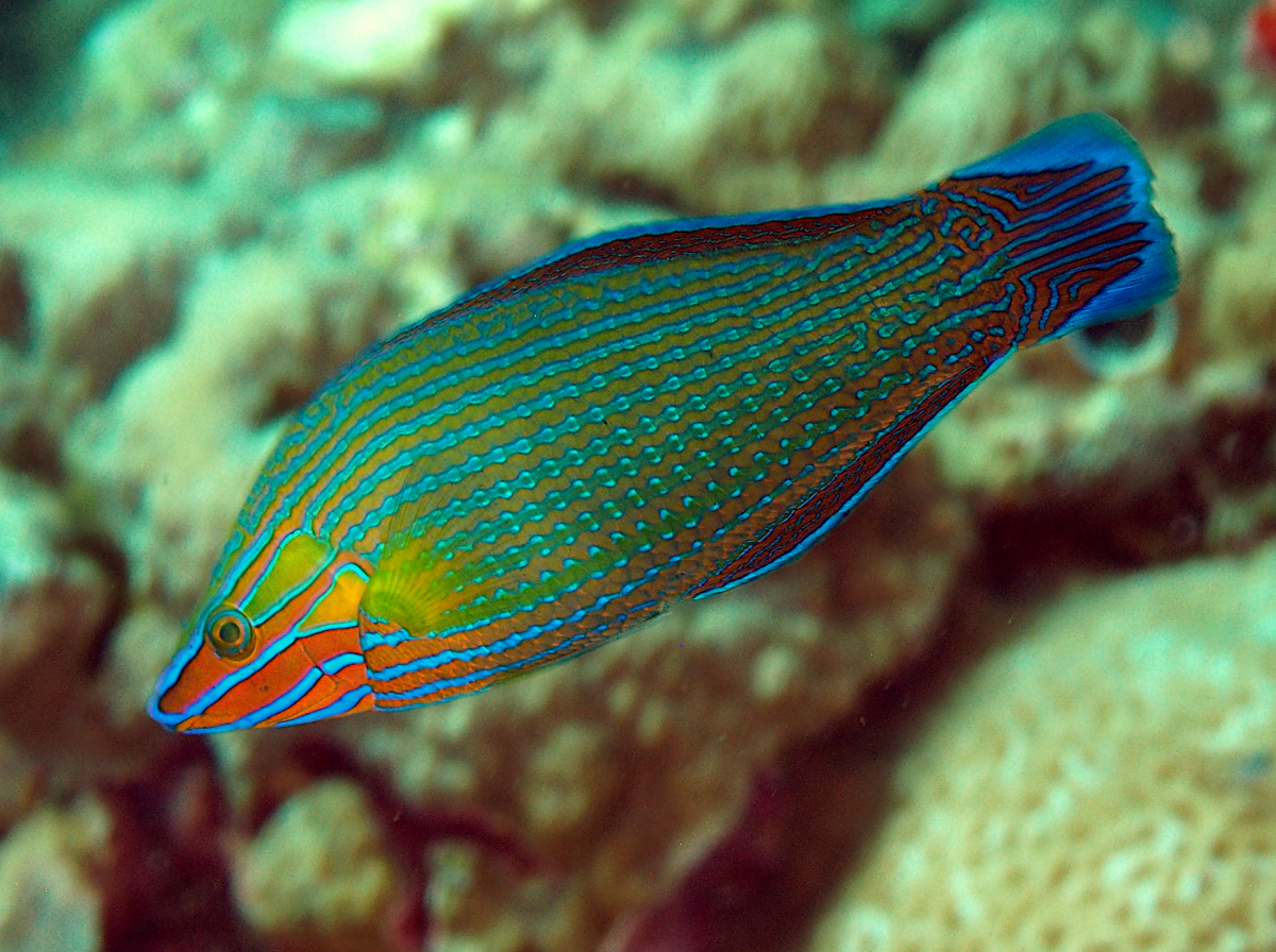 Richmond's Wrasse - Halichoeres richmondi - Wakatobi, Indonesia