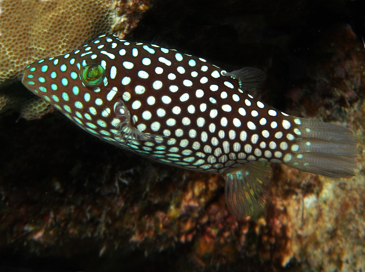 Hawaiian Whitespotted Toby - Canthigaster jactator