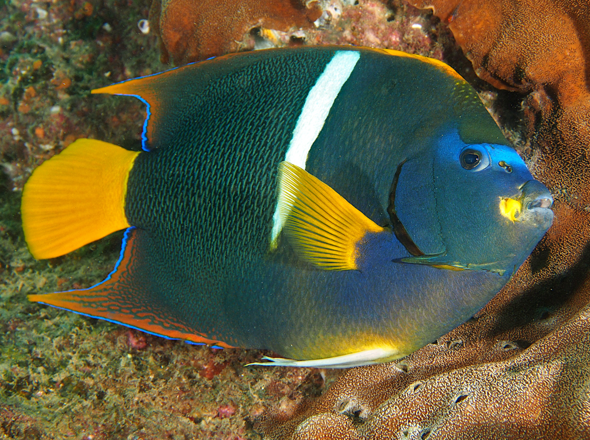 King Angelfish - Holacanthus passer