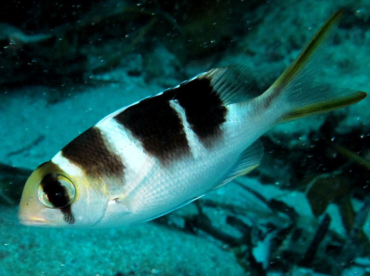 Humpnose Bigeye Bream - Monotaxis grandoculis