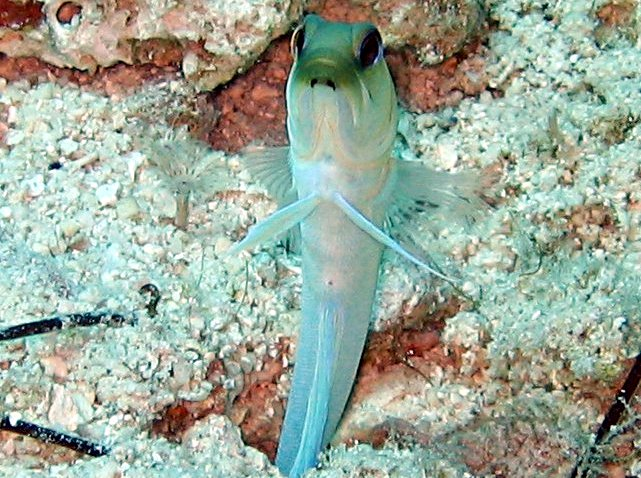 Yellowhead Jawfish - Opistognathus aurifrons