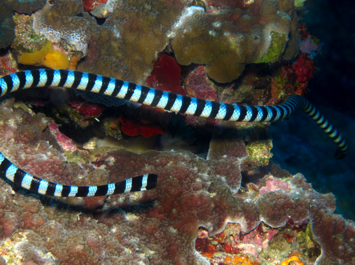 Blue-Lipped Sea krait - Laticauda laticaudata