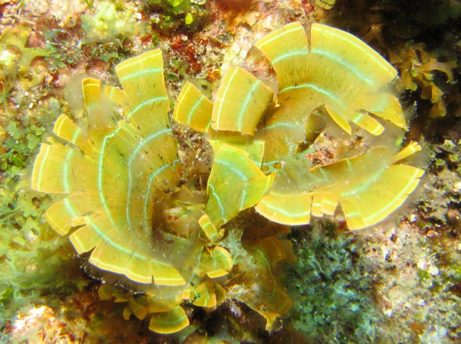 Leafy Rolled Blade Alga Padina Boergesenii Brown Algae