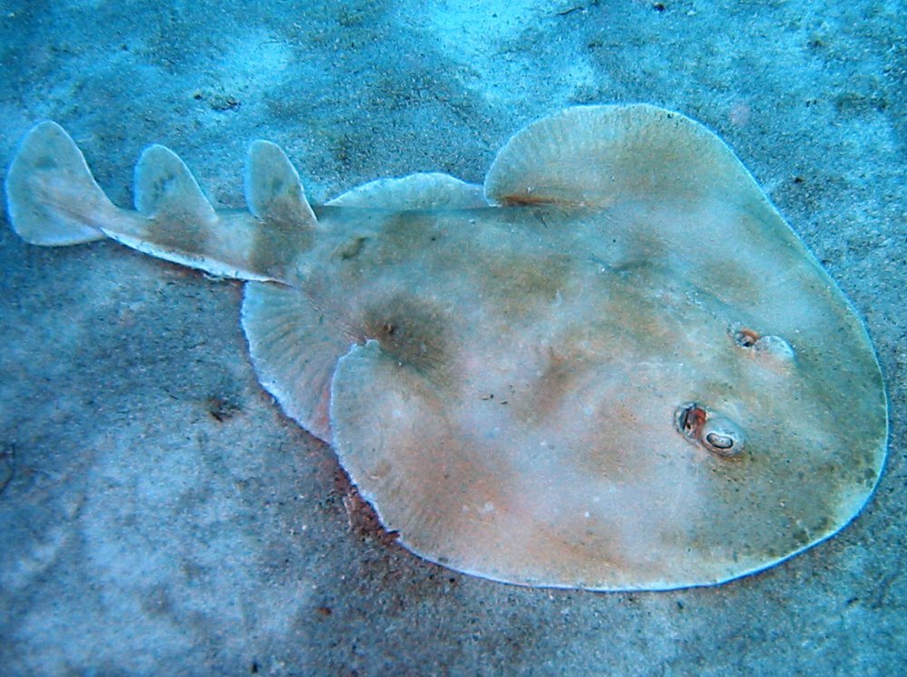 Lesser Electric Ray - Narcine brasiliensis