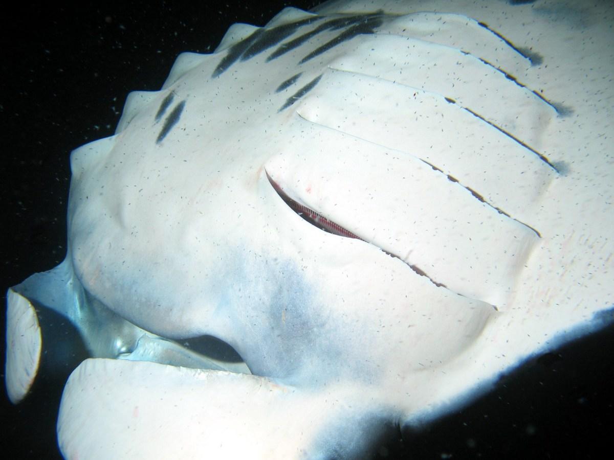 Manta Ray Big Island Manta Names