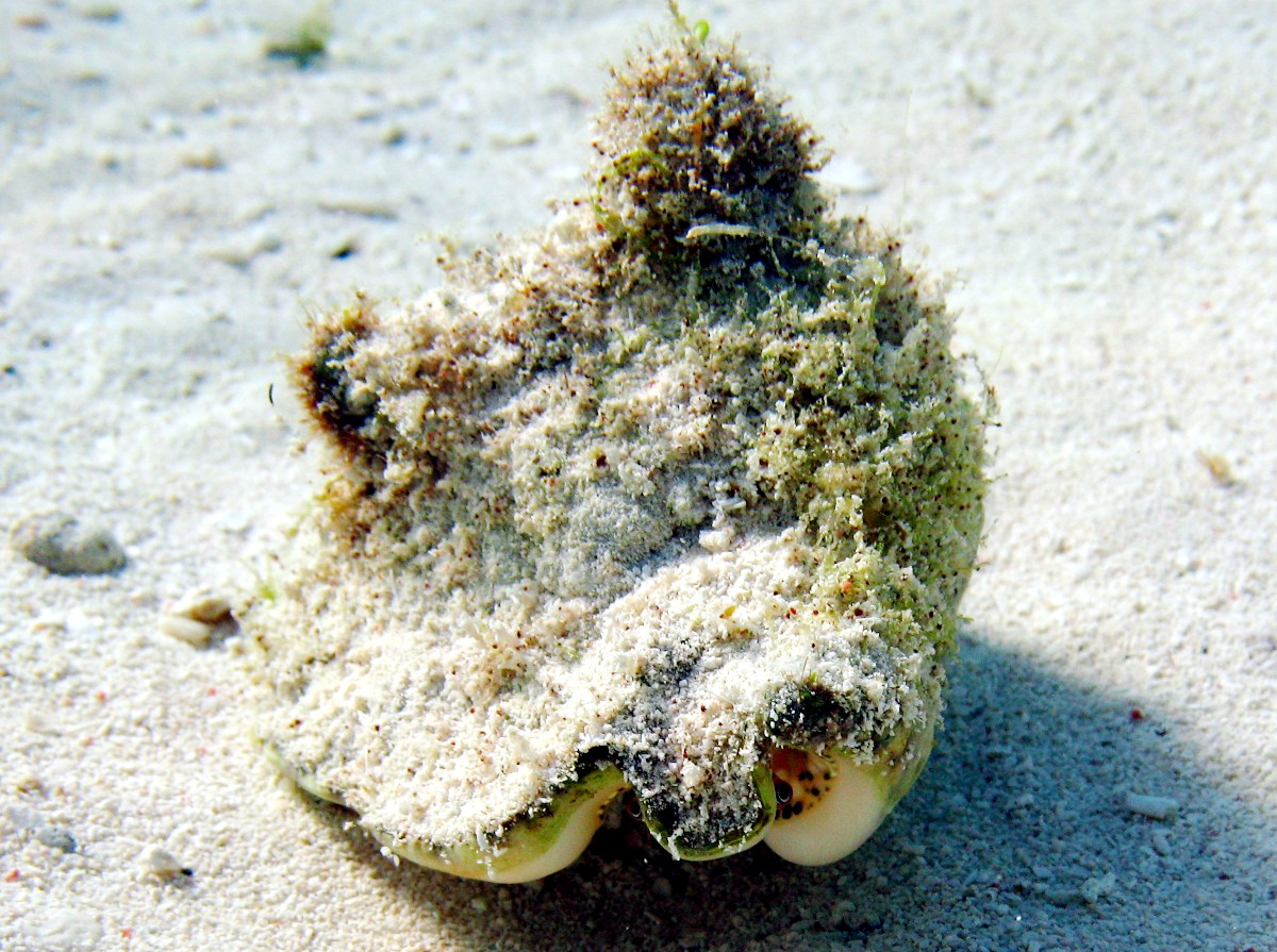Milk Conch - Macrostrombus costatus