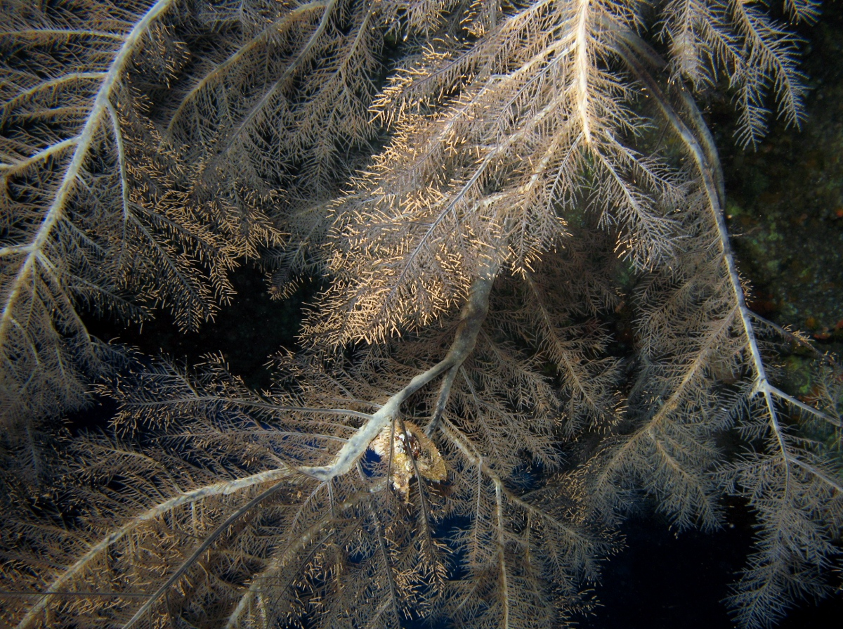 Feathery Black Coral - Myriopathes ulex
