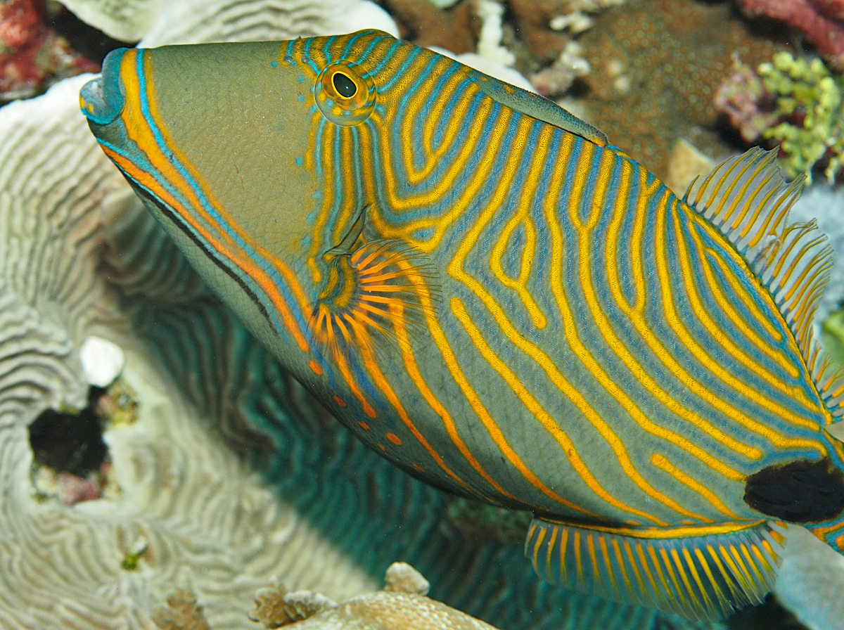 Orange-Lined Triggerfish - Balistapus undulatus
