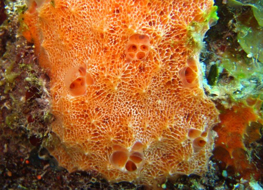 Encrusting Sponge Orange Lumpy Encrusting Sponge