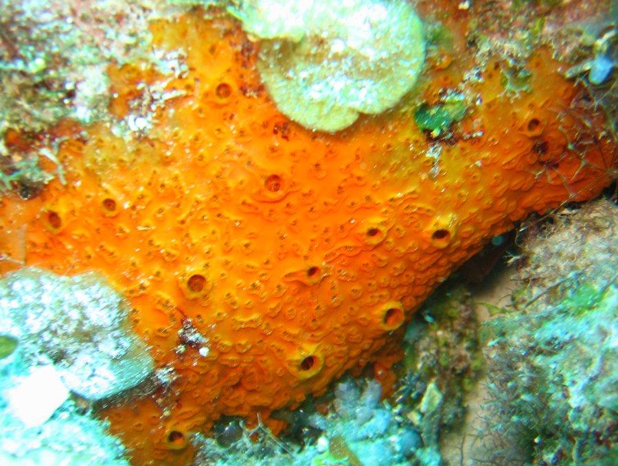 Orange Sieve Encrusting Sponge Diplastrella Megastellata Sponges Caribbean Reefs