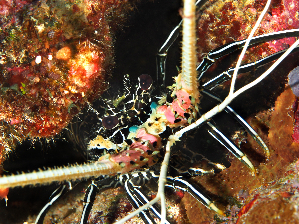 Painted Spiny Lobster - Palinurus versicolor