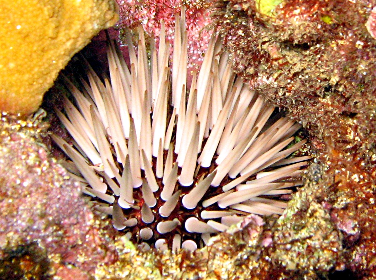 Pale Rock-Boring Urchin - Echinometra mathaei