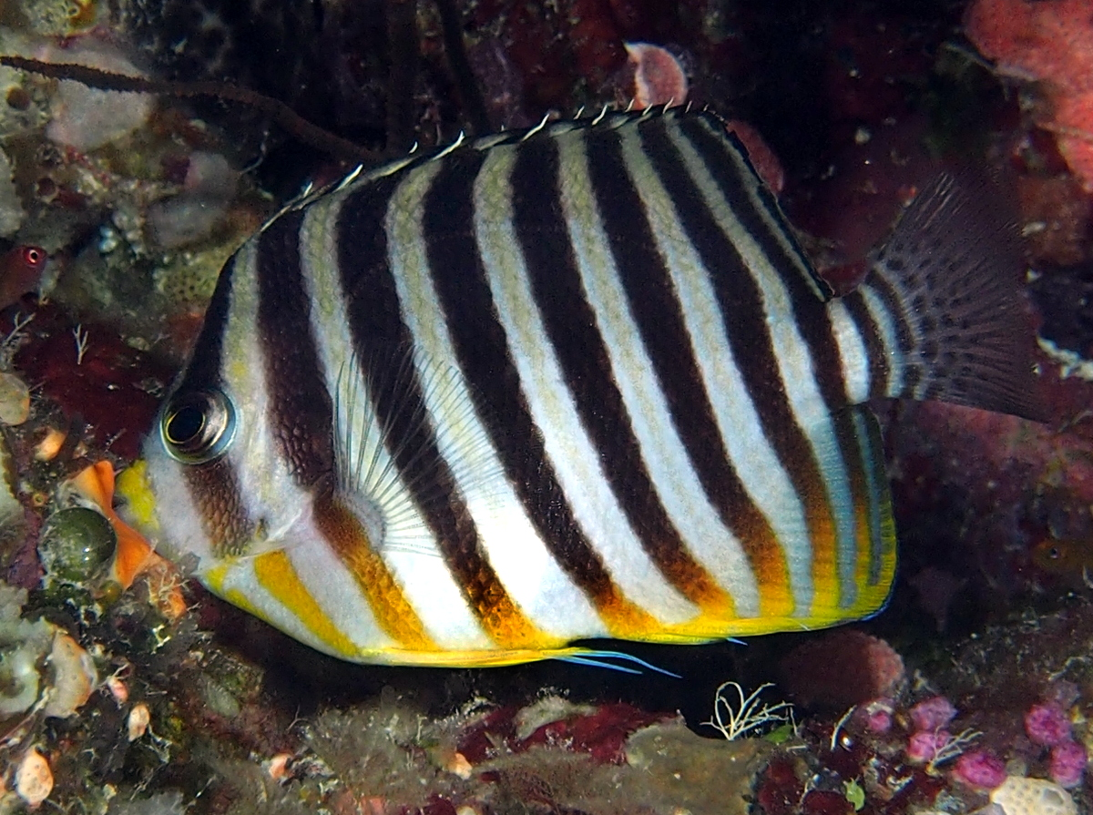 Multibarred Angelfish - Paracentropyge multifasciata