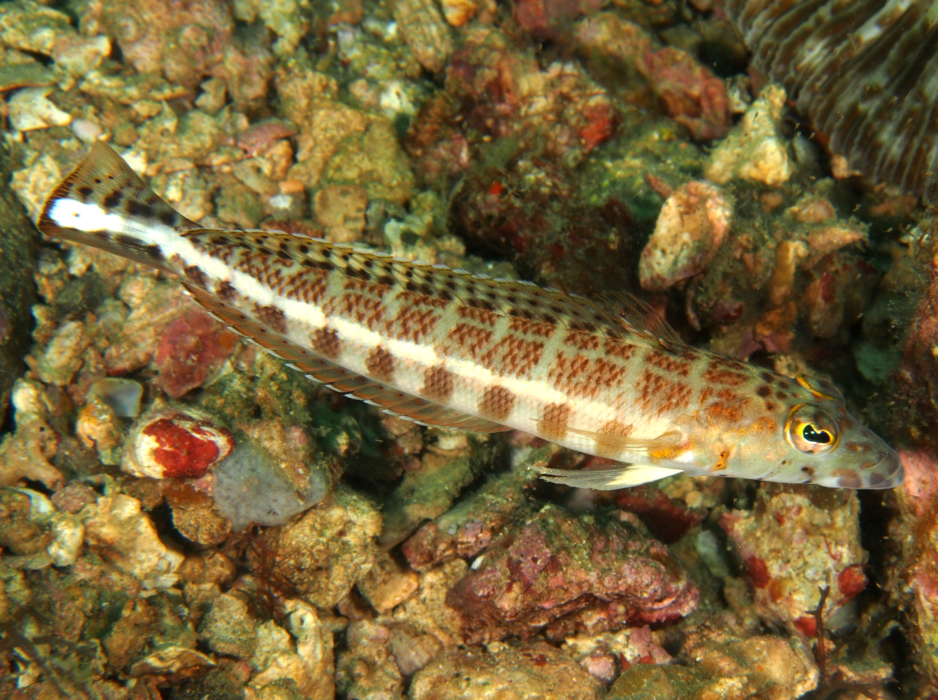 Whitestripe Sandperch - Parapercis xanthozona - Anilao, Philippines