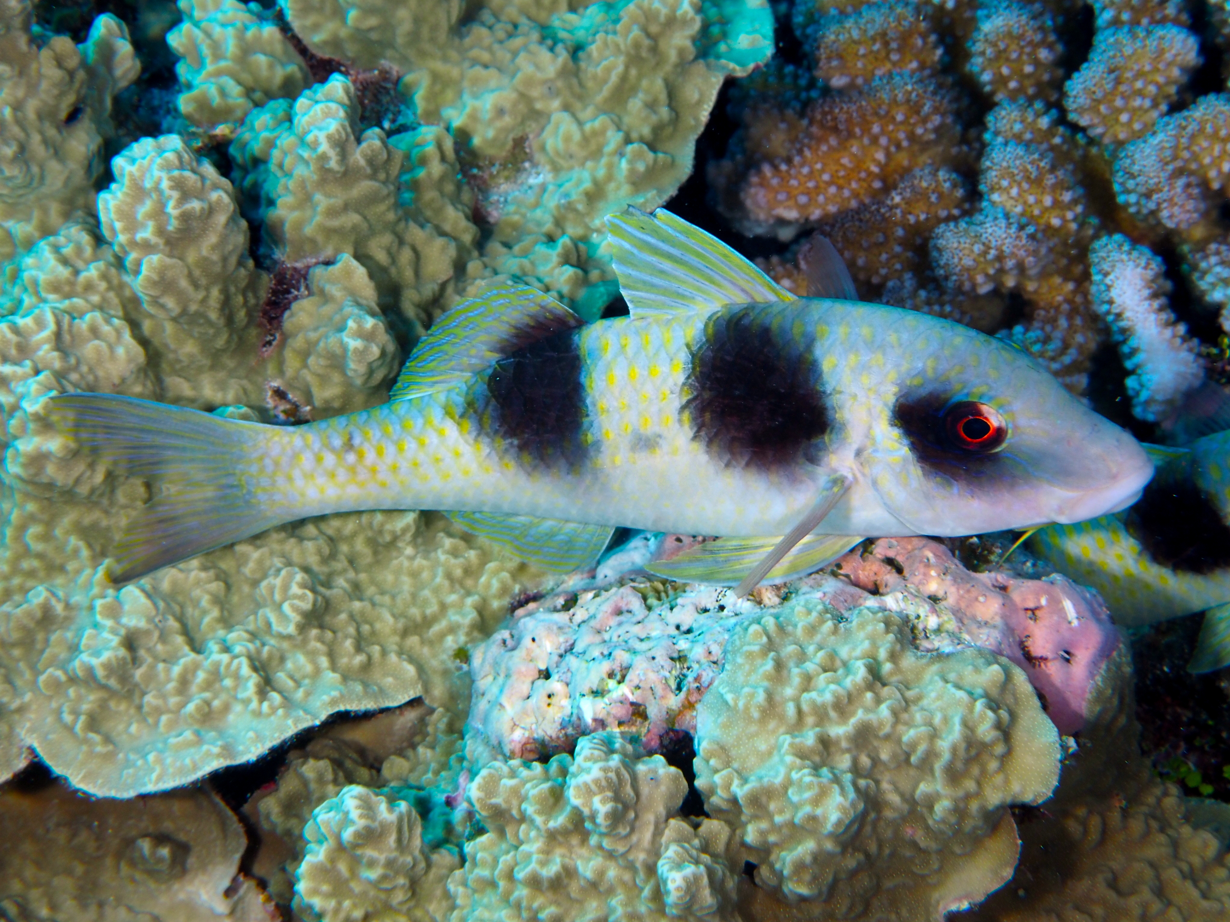 Doublebar Goatfish - Parupeneus crassilabris - Great Barrier Reef, Australia
