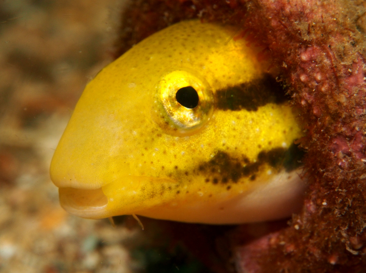 Shorthead Fangblenny - Petroscirtes breviceps