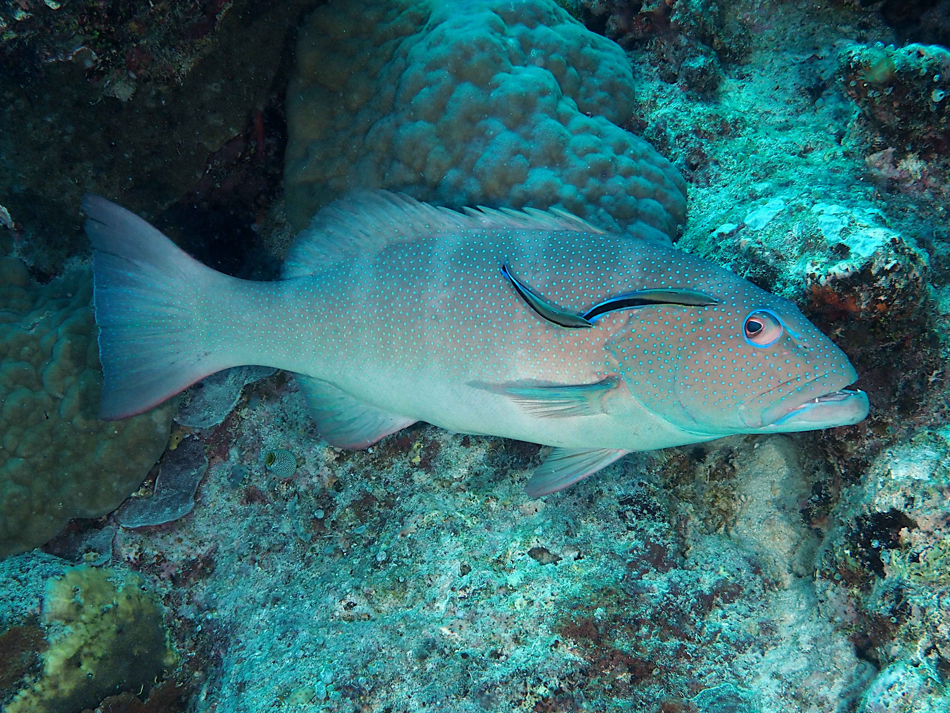 Blacksaddled Coral Grouper - Plectropomus laevis