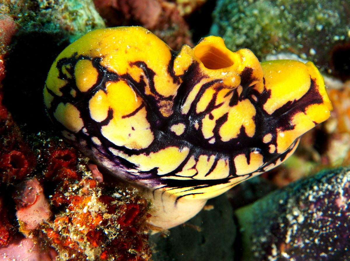 Ink-Spot Sea Squirt - Polycarpa aurata