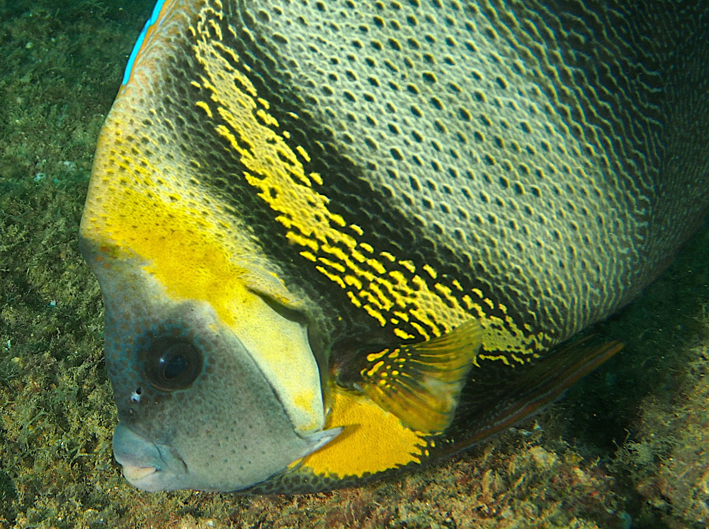 Cortez Angelfish - Pomacanthus zonipectus