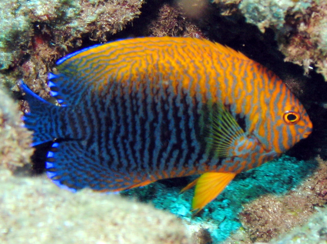 Hawaiian Angelfish