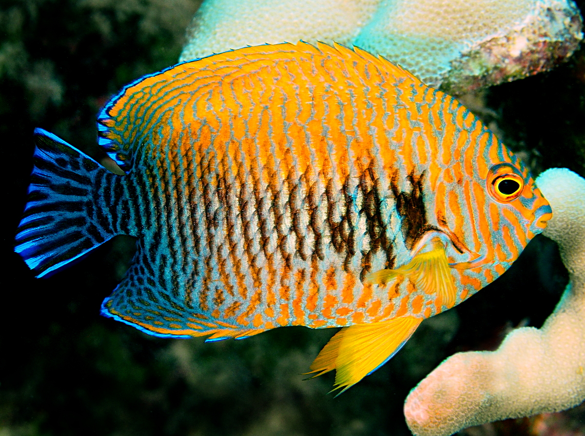 Potter's Angelfish - Centropyge potteri