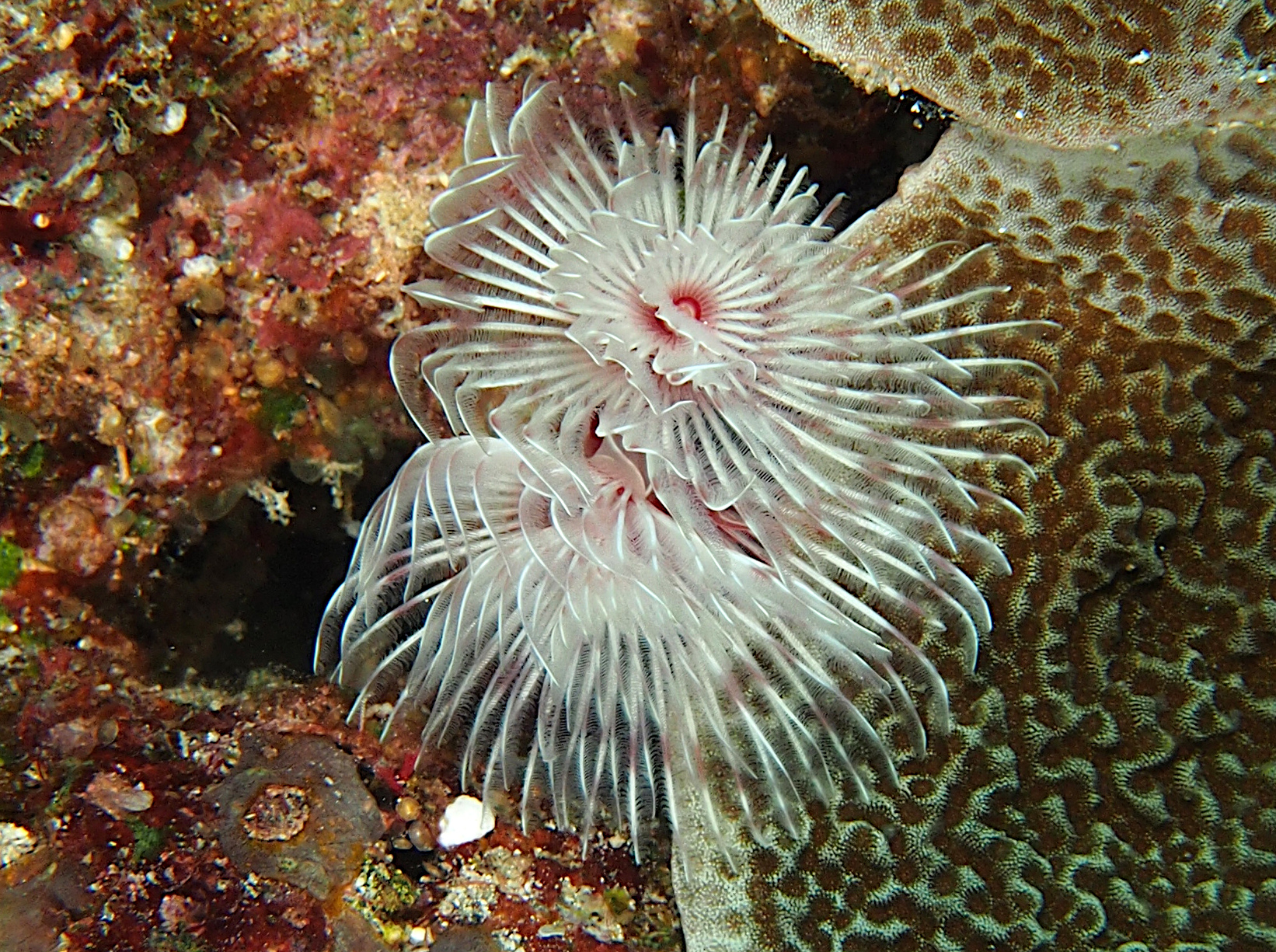 Magnificent Tube Worm - Protula bispiralis - Wakatobi, Indonesia