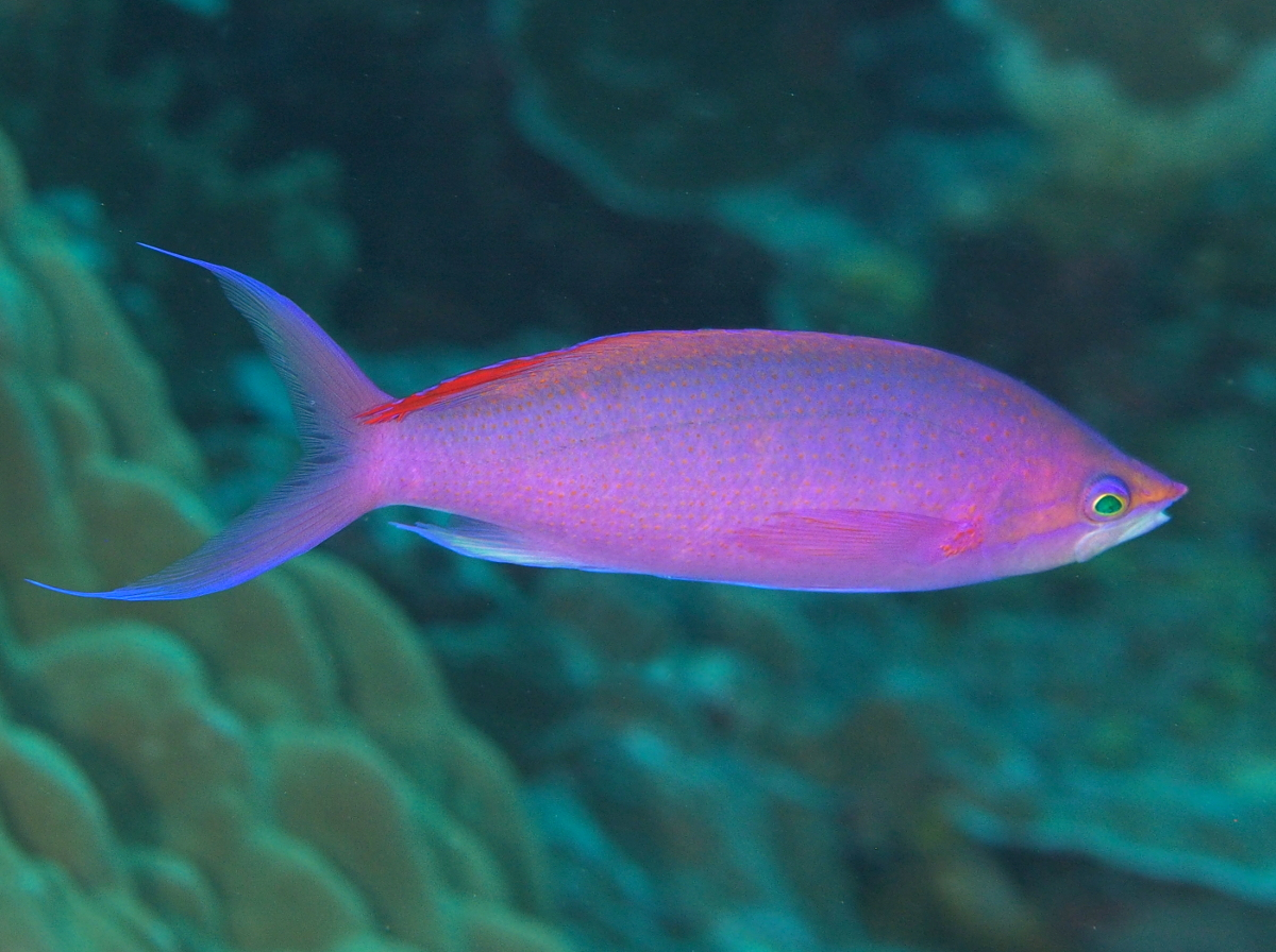 Purple Queen Anthias - Pseudanthias pascalus - Palau