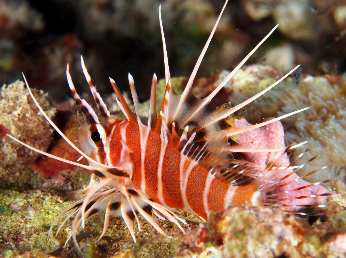 Hawaiian Red Lionfish - Pterois sphex - Big Island, Hawaii