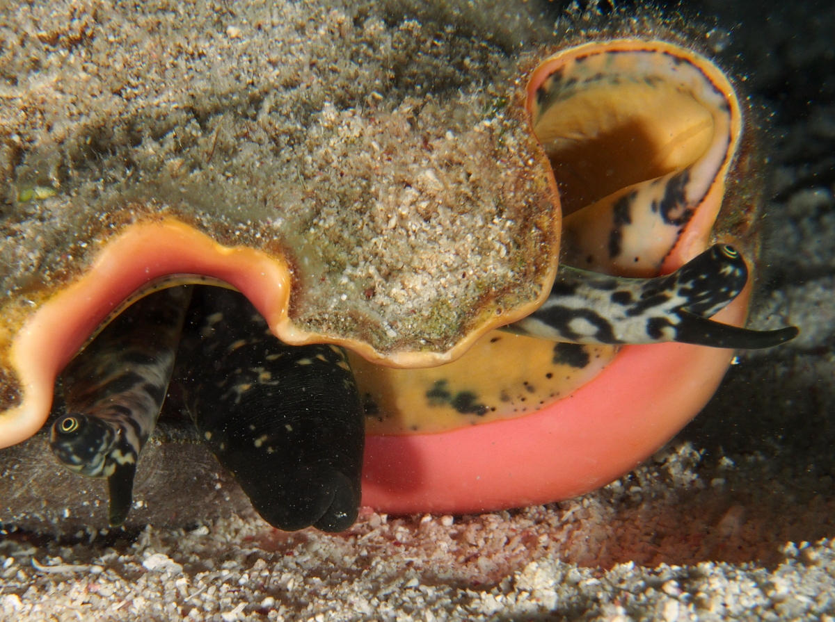 Queen Conch - Strombus gigas
