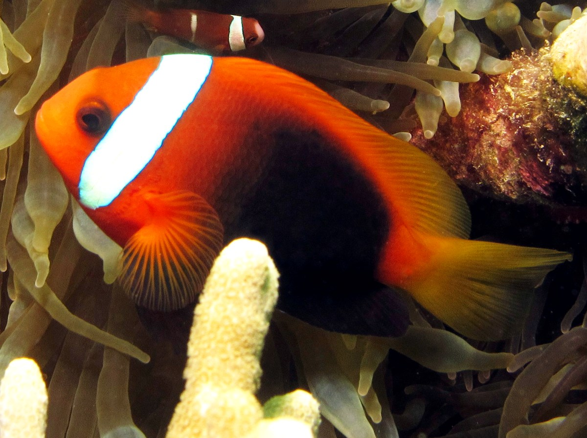 Red And Black Anemonefish - Amphiprion melanopus - Yap, Micronesia