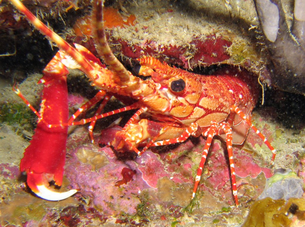 Red Banded Lobster - Justitia longimanus