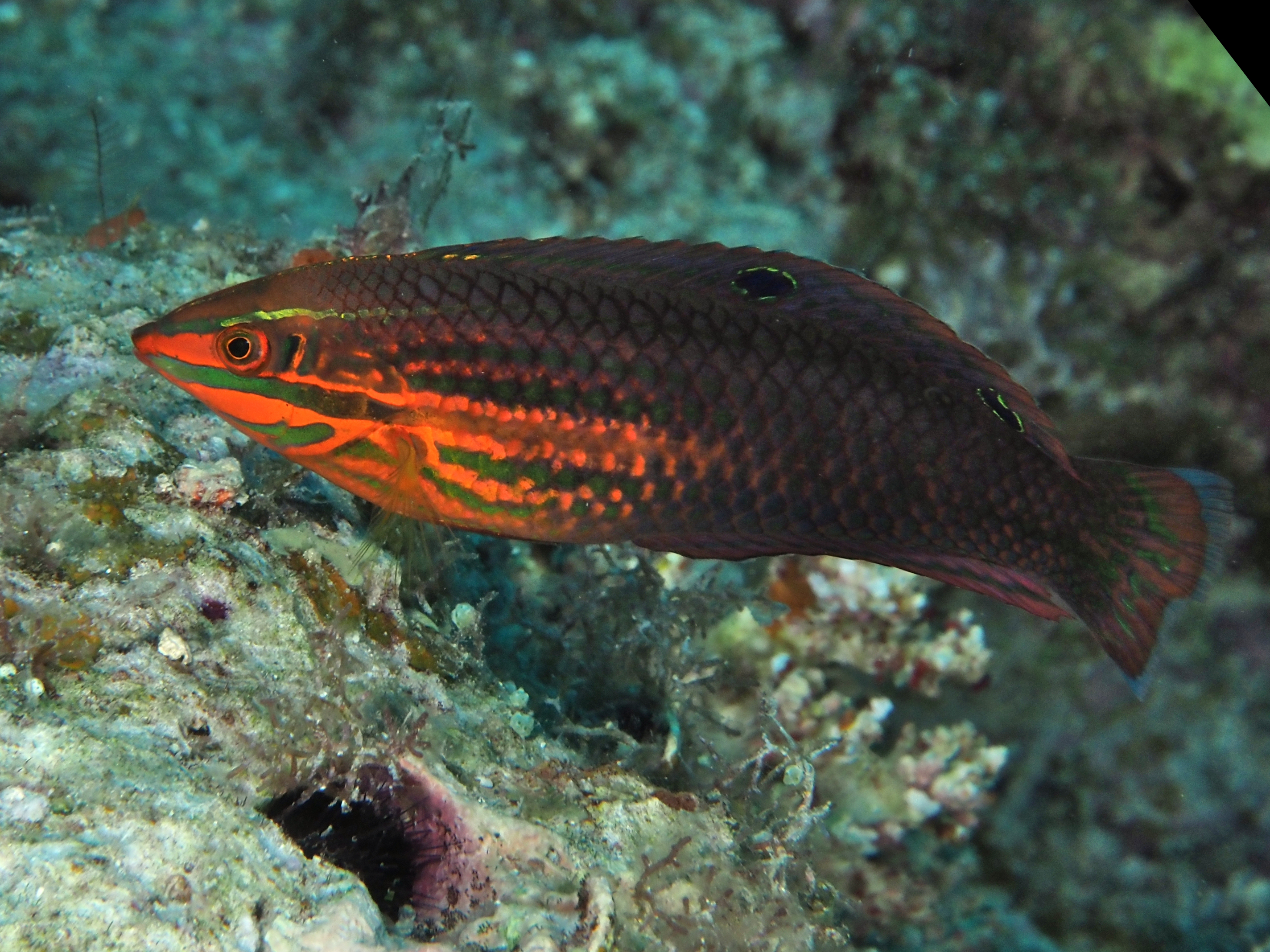 Red-Lined Wrasse - Halichoeres biocellatus