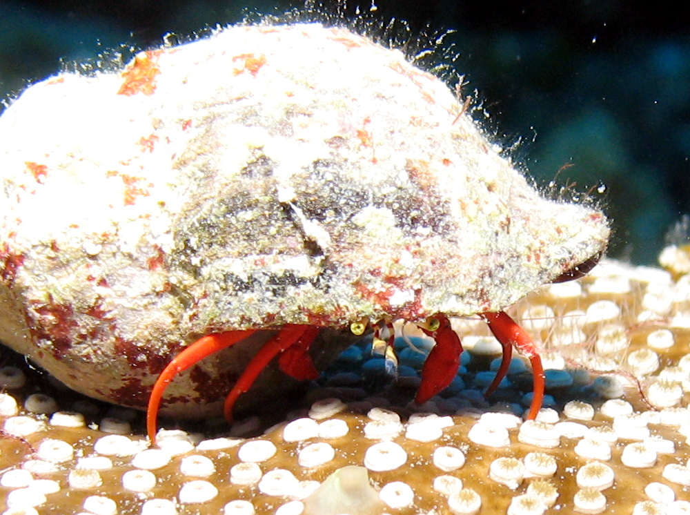 Red Reef Hermit Crab - Paguristes cadenati