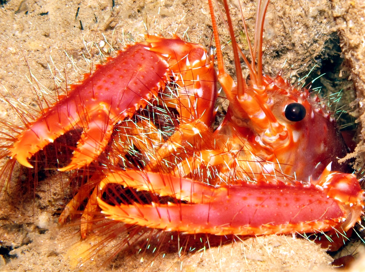 Red Reef Lobster - Enoplometopus occidentalis