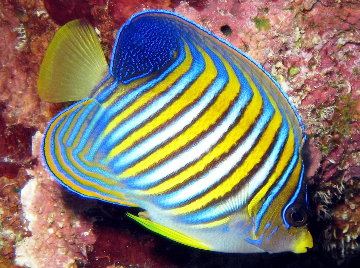 Regal Angelfish - Pygoplites diacanthus
