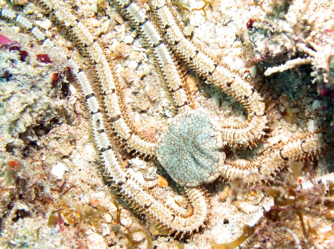 Reticulated Brittle Star - Ophiothrix reticulata