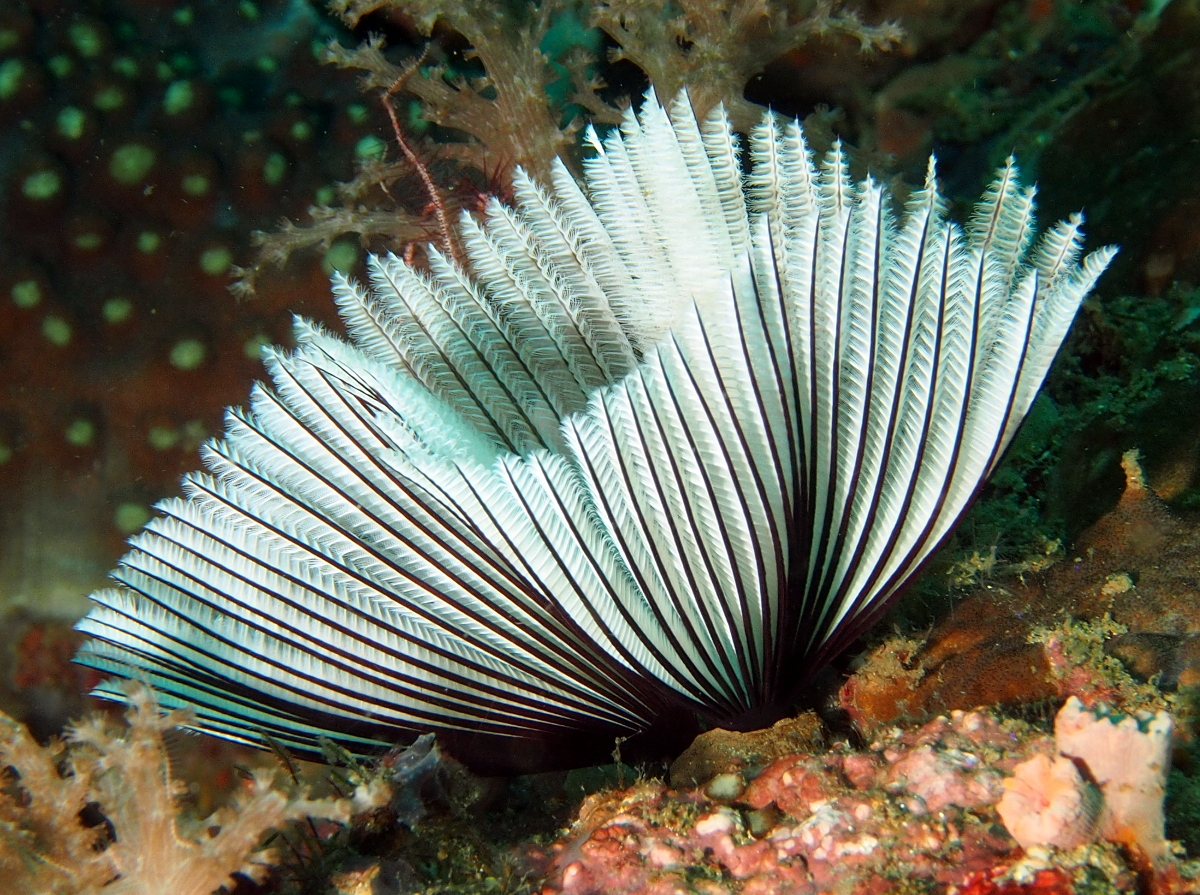 Common Feather Duster Worm - Sabellastarte sanctijosephi - Anilao, Philippines