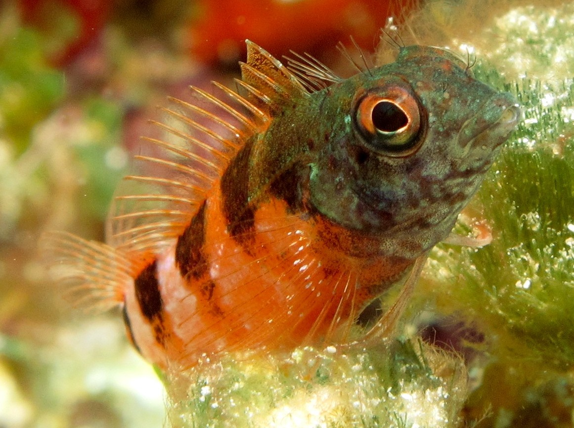 Saddled Blenny - Malacoctenus triangulatus