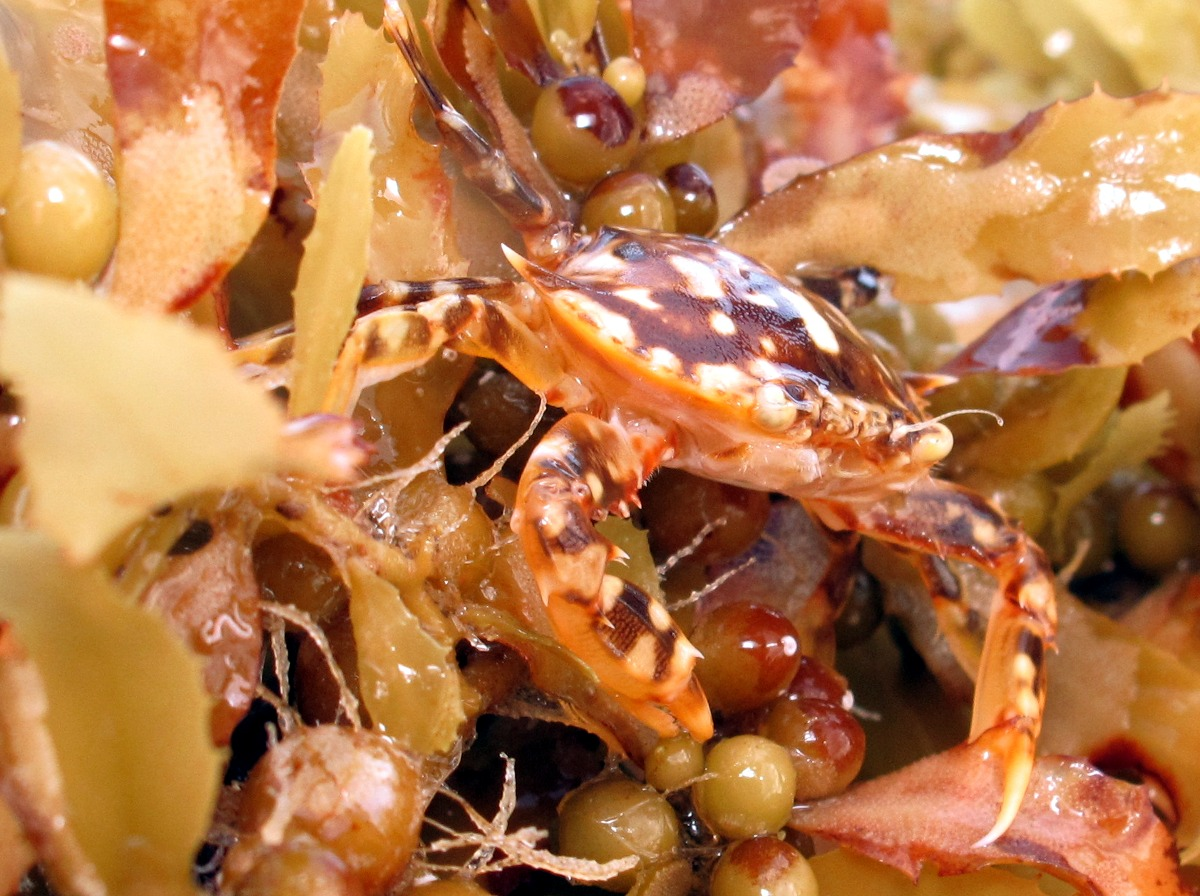 Sargassum Swimming Crab - Portunus sayi