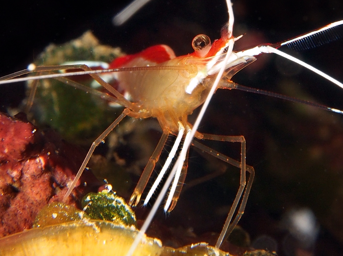 Scarlet-Striped Cleaning Shrimp - Lysmata grabhami