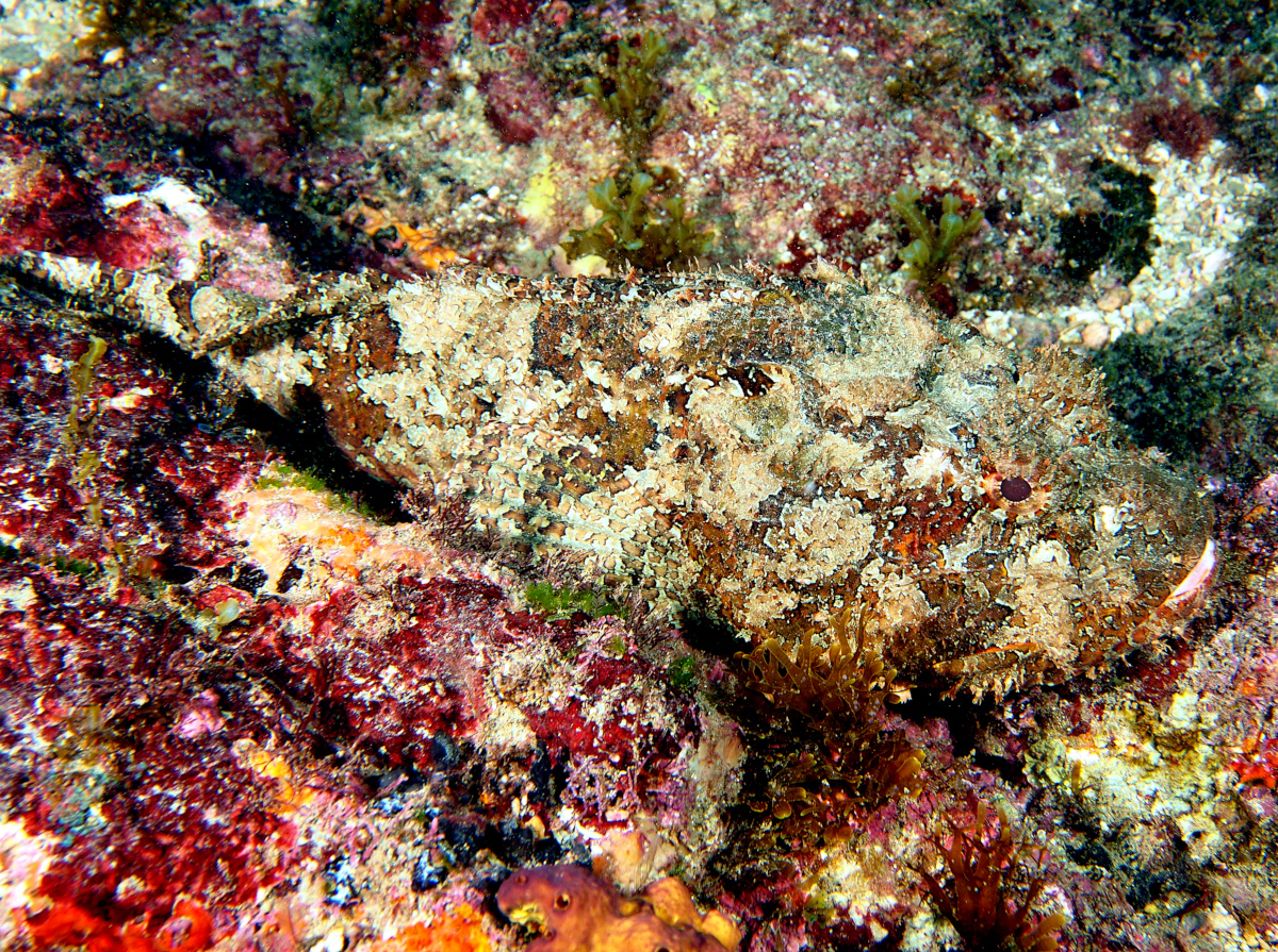 Pacific Spotted Scorpionfish - Scorpaena mystes