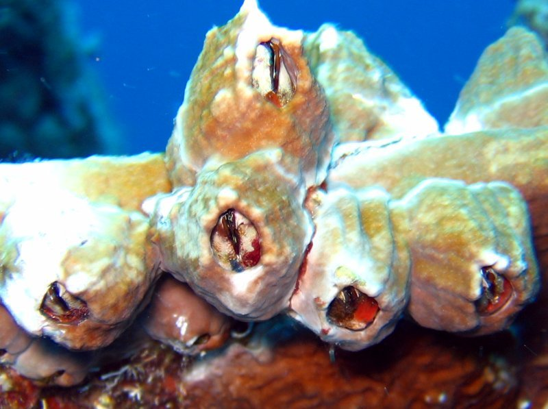 Sessile Barnacles -  - Key Largo, Florida