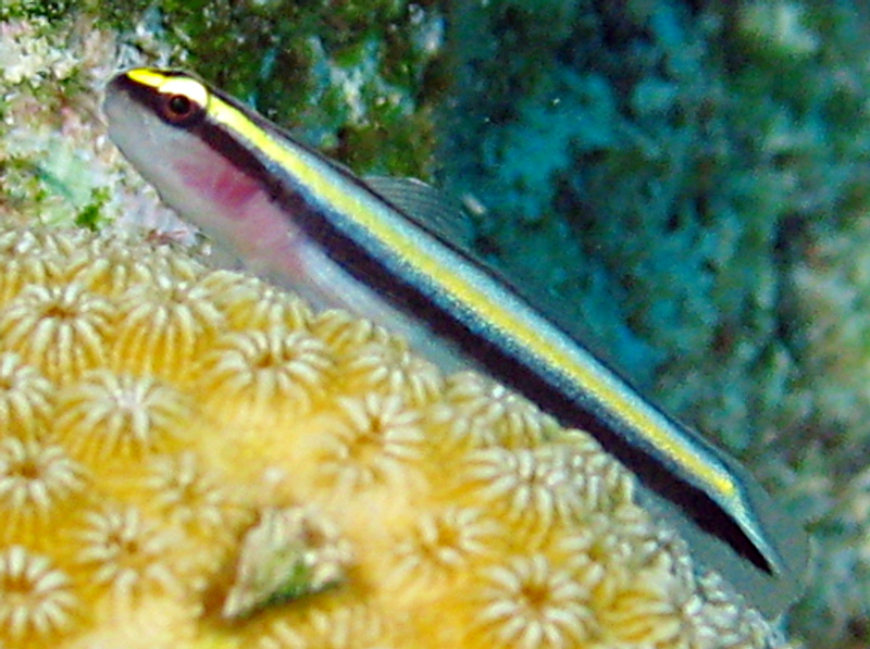 Sharknose Goby - Elacatinus evelynae