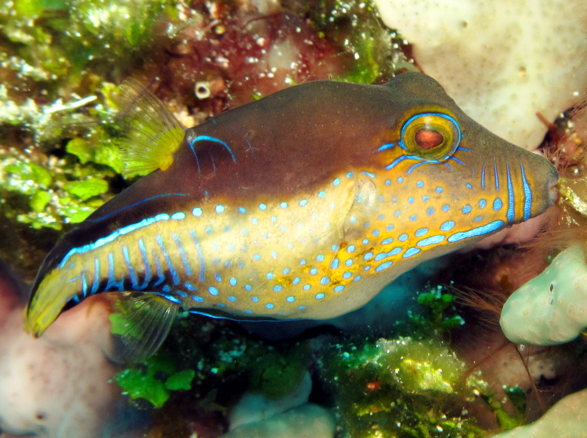 Sharpnose Puffer - Canthigaster rostrata