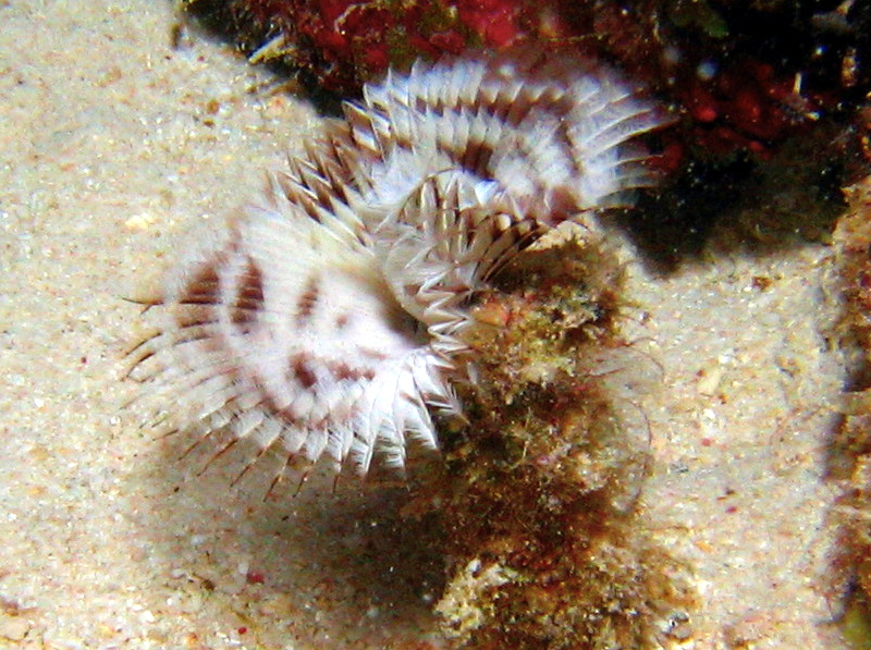 Shy Feather Duster - Megalomma sp. - Bonaire