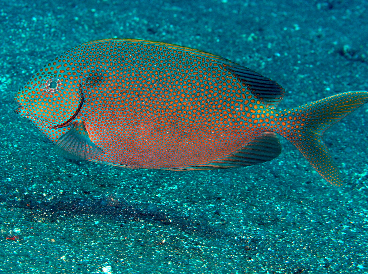 Goldspotted Rabbitfish - Siganus punctatus - Bali, Indonesia