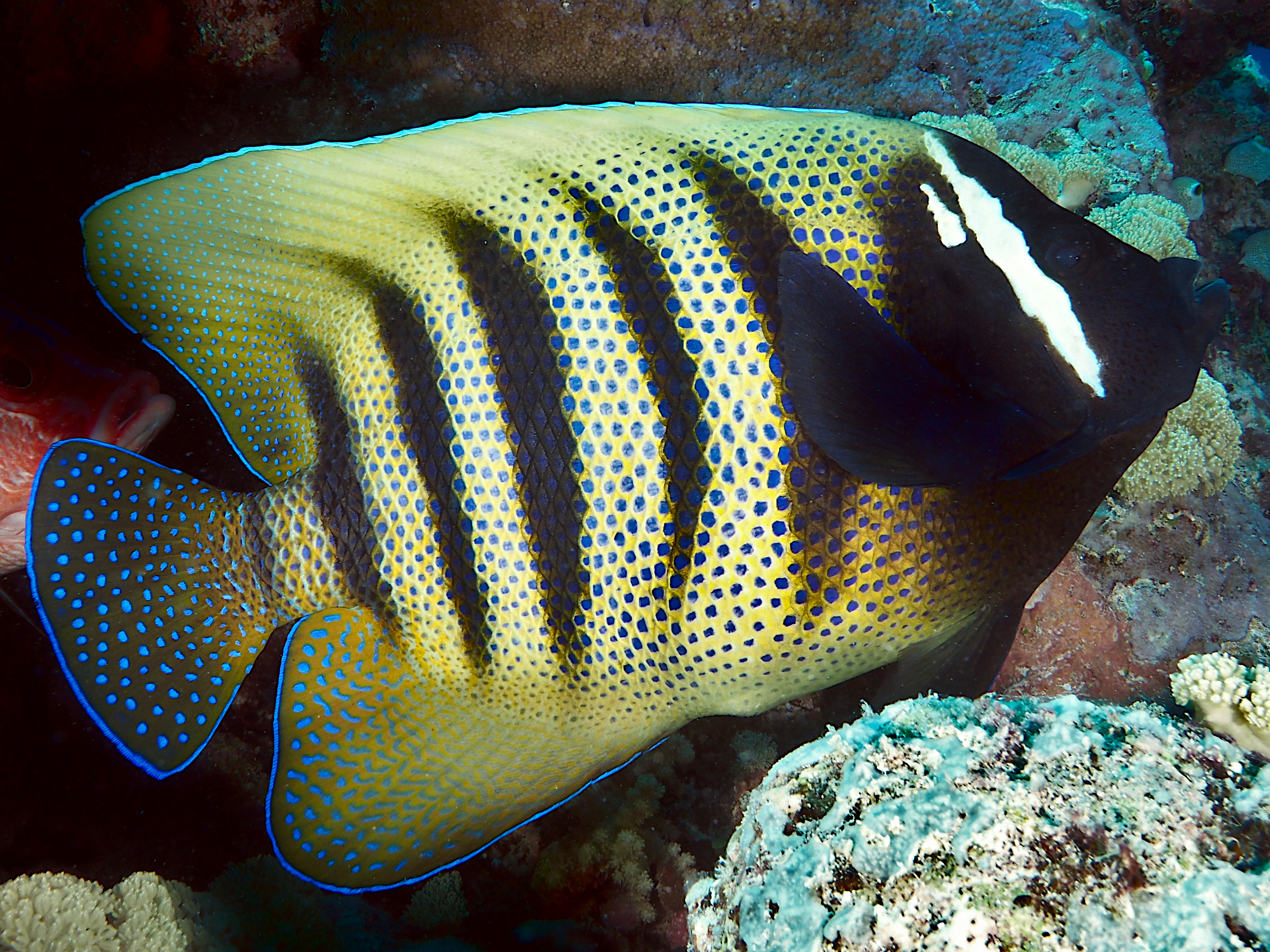 Six-Banded Angelfish - Pomacanthus sexstriatus