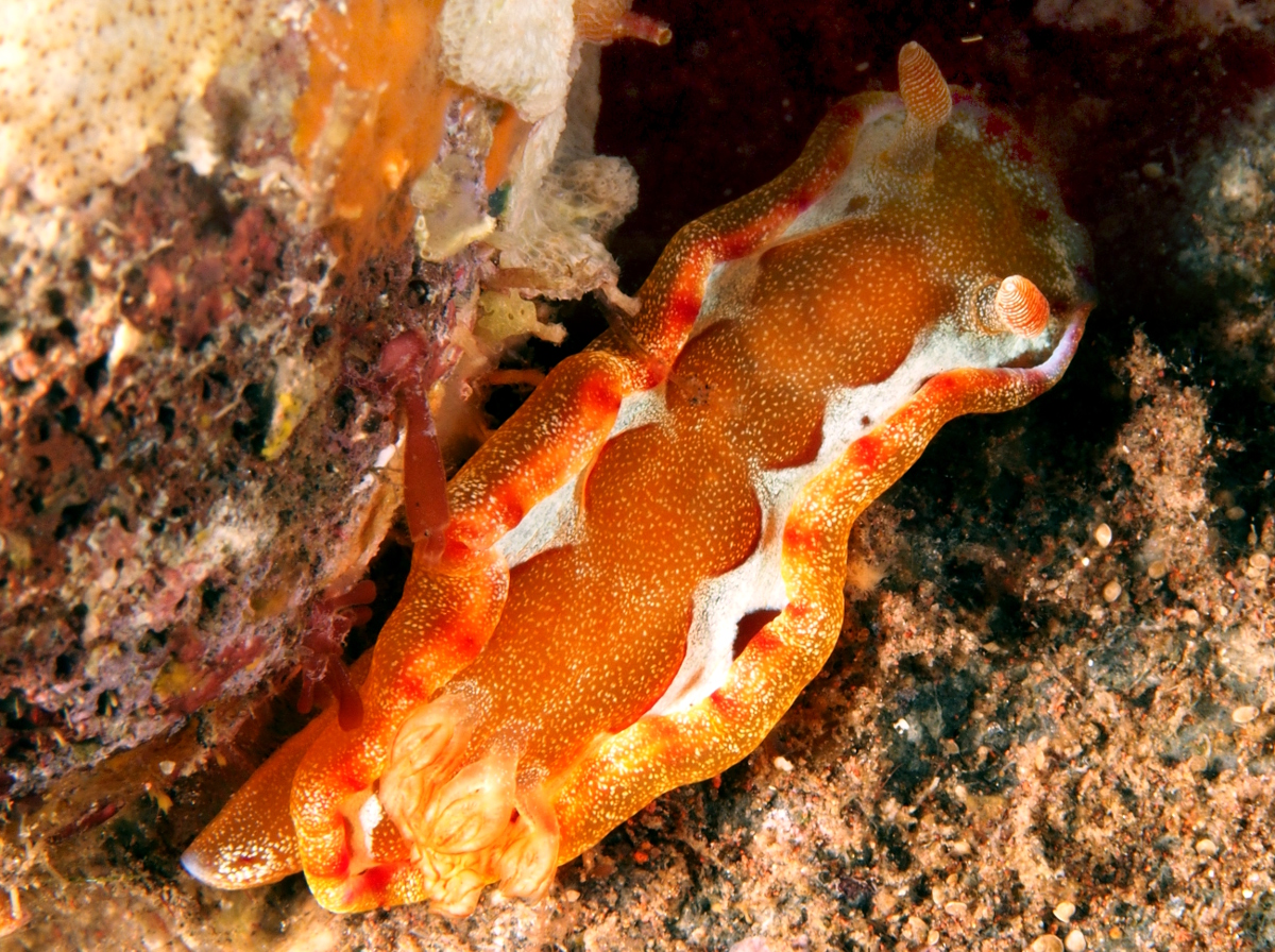 Spanish Dancer - Hexabranchus sanguineus